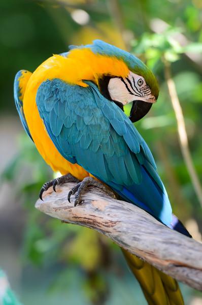 ryle-lenzi-irwin-st-augustine-alligator-farm-rookery-macaw.jpg