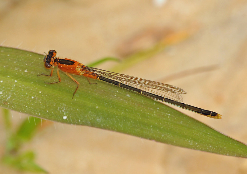 Ischnura ramburii (Rambur's Forktail), GA