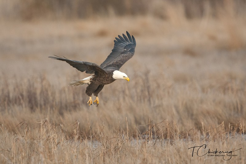 Bald Eagle Lift Off-1517188077749.jpg