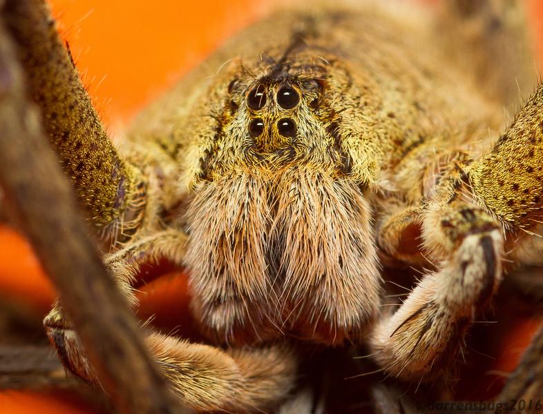 Wandering spider, Phoneutria sp (Ctenidae), from Panama.