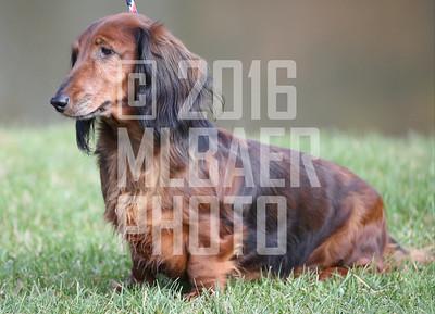 dachshund-joanne