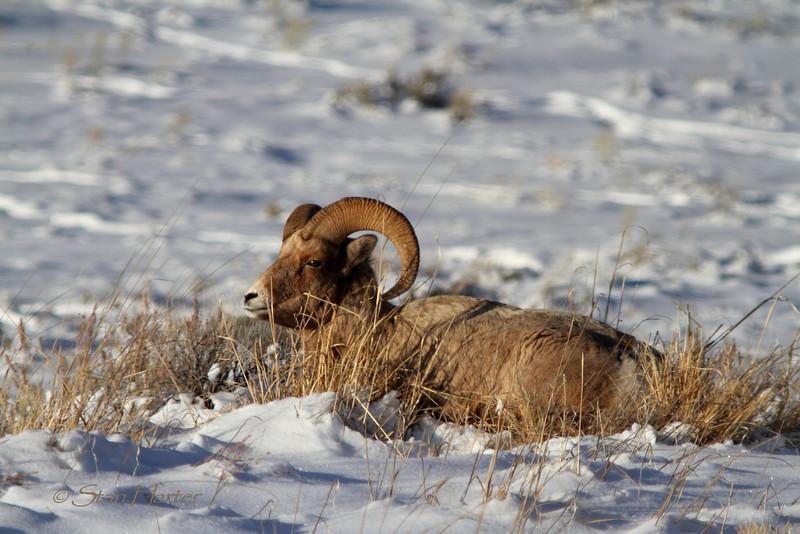 Bighorn Ram NER.jpg