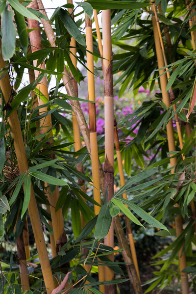 Close-up of bamboo plants, Oudomxay Province, Laos