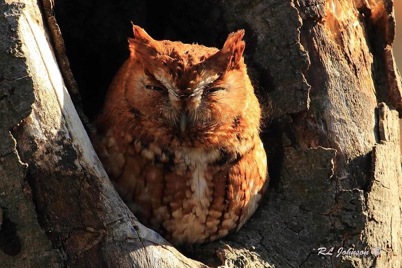 Eastern Screech Owl - Haywood County, NC