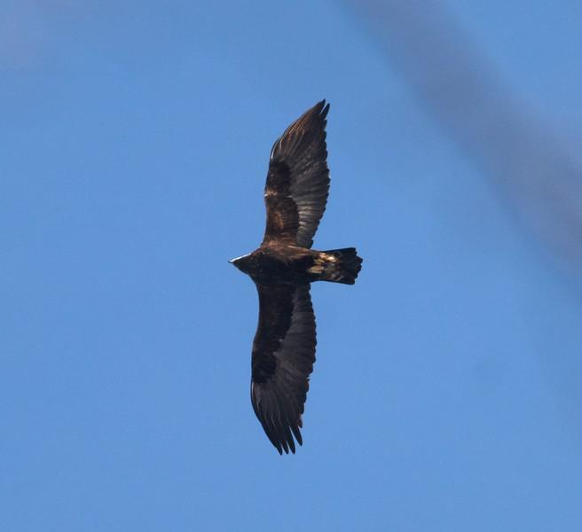 Golden Eagle 2nd year bird over Rock Pond Hill UMD Duluth MN IMG_8404.jpg