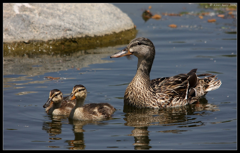 Female Mallard with chicks, Santee Lakes, San Diego County, California, May 2009