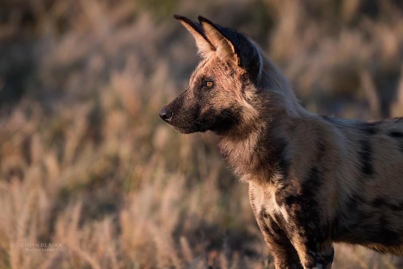 African Wild Dog, Savuti, Chobe NP, Botwana, May 2017-2.jpg