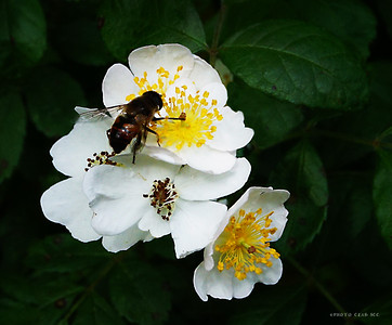 DIGITAL-COLOR-MASTER-GOLD-BLACKBERRY BUSH POLLINATOR-ROLF SULZBERGER