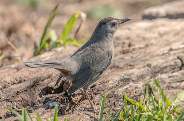 Gray Catbird_DWL5726.jpg