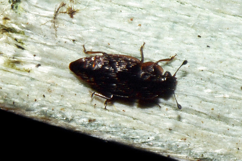 unidentified Coleoptera on Astelia menziesiana, West Maui