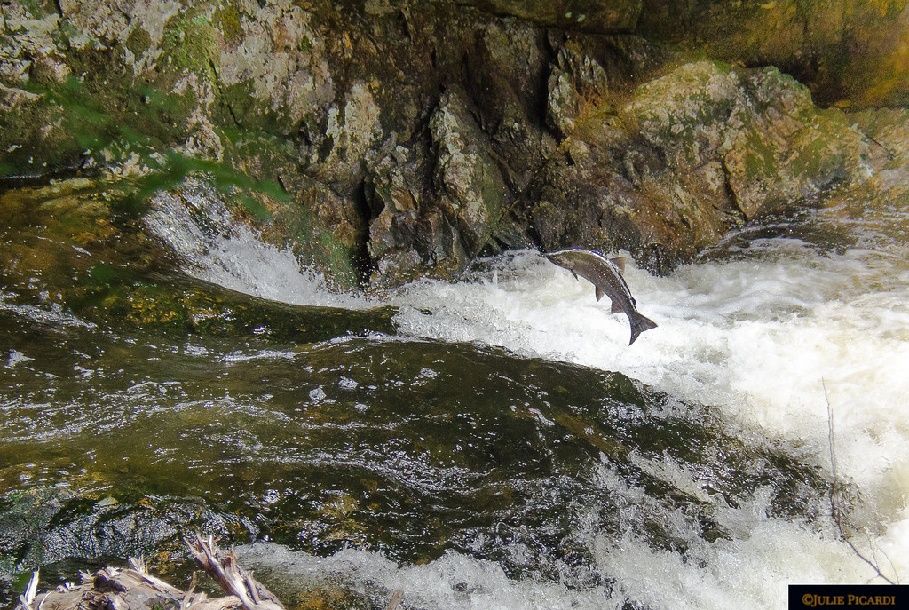 The salmon are running...