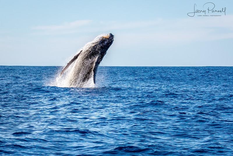 California Gray Whale - Ballistic