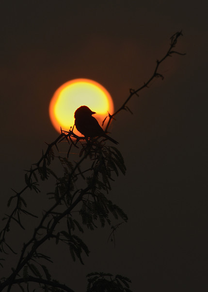Shrike-at-sunrise.jpg