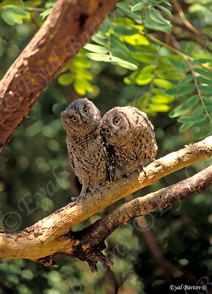 Scops Owl_resize.jpg