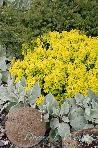 Berberis thunbergii 'SMBTJ' Golden Jackpot - Podocarpus alpinus 'County Park Fire' landscape_3903.jpg