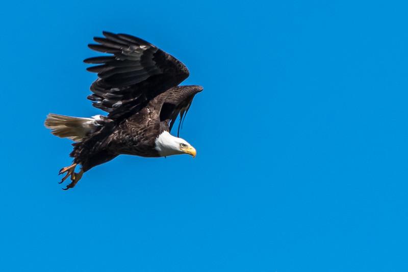 Eagle Taking Off 3