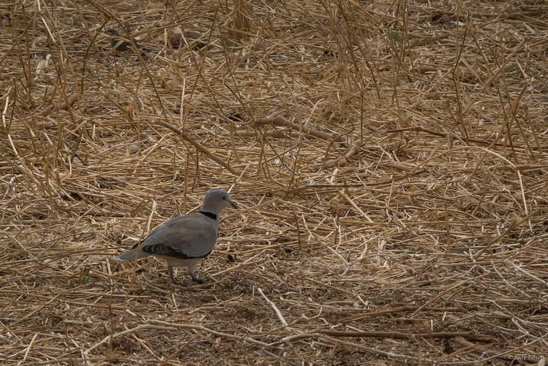 Tarangire National Park ring-necked dove-2.jpg