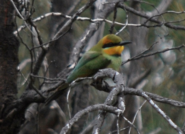 Rainbow Bee Eater - I saw this in the Bannock Bush when I last visited in October 2009