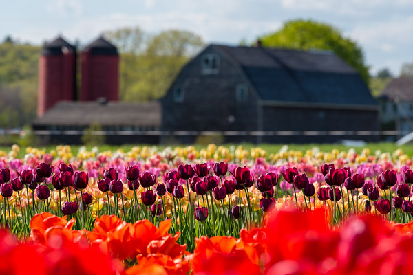 Wicked Tulip Farm