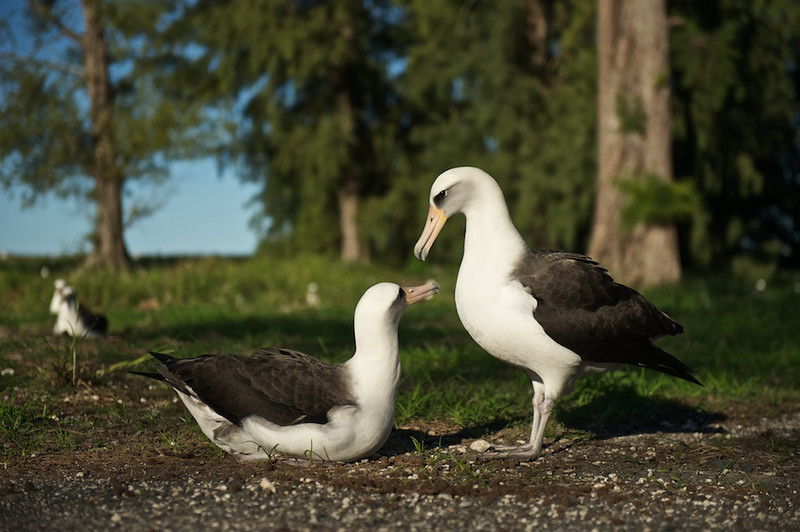 Layson Albatross Mating Dance - Midway Island, North Pacific  On Midway Island, Layson Albatross will pick just about any spot to claim for their own and do their mating rituals.  This couple were barely off the pavement through the main housing area on the island.  The male on the right just finished dancing and displaying with the female just crouching down.    From a photography point of view I am shooting at 70mm's less than nine feet away from the birds.  I'm sitting on the ground sitting cross-legged and bent over to get the eye-level bird perspective.