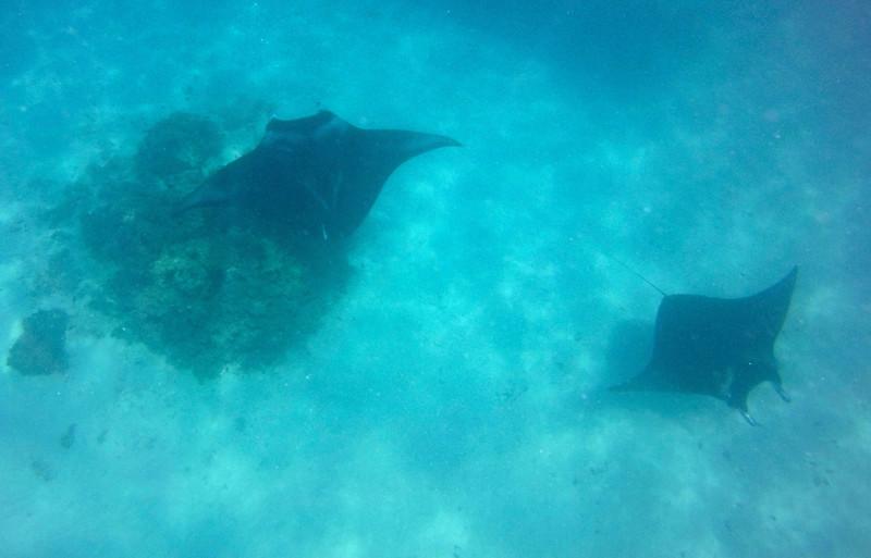 These guys were huge!  Their wingspans were about 8 feet!! - Manta Rays - Raanui Snorkel Trip - Bora Bora