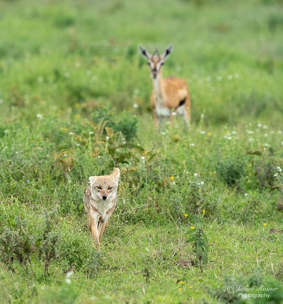 Jackal and Gazelle