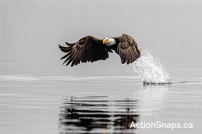 2019-06 Eagles in Bonavista Bay