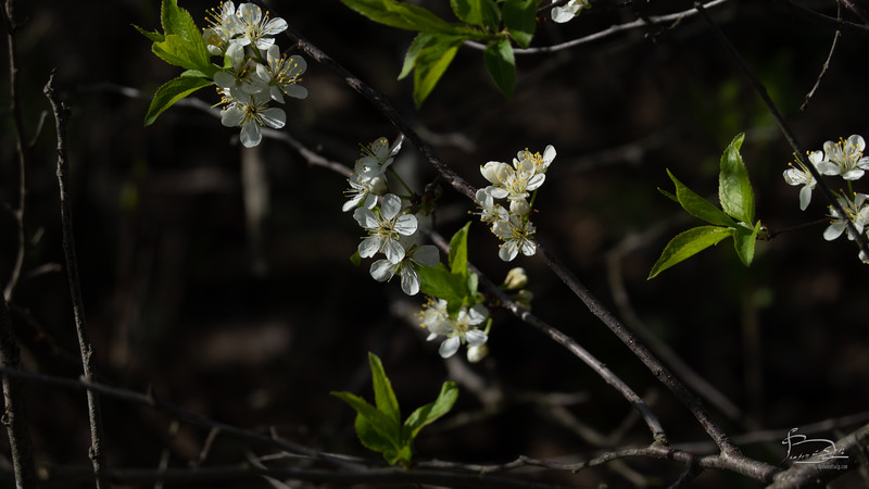 Appears to be some kind of cherry blossom