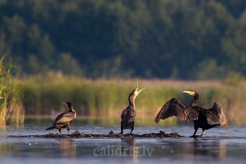 Great Cormorants sit on small mud patch in lake Ka.ieris