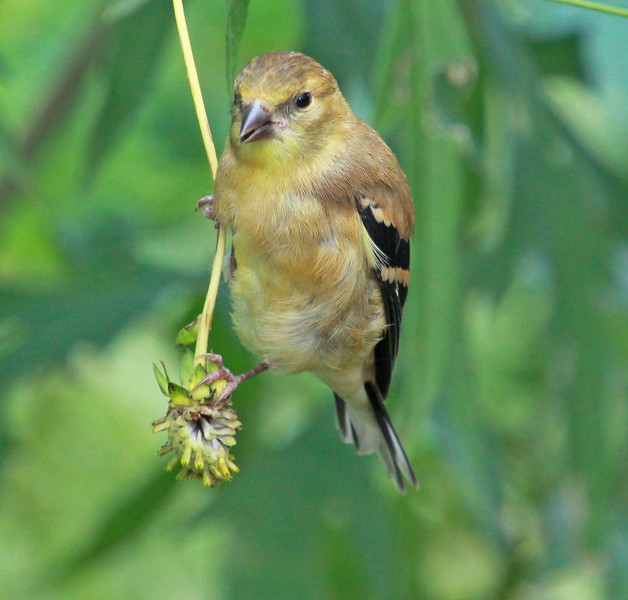 Female goldfinch 992