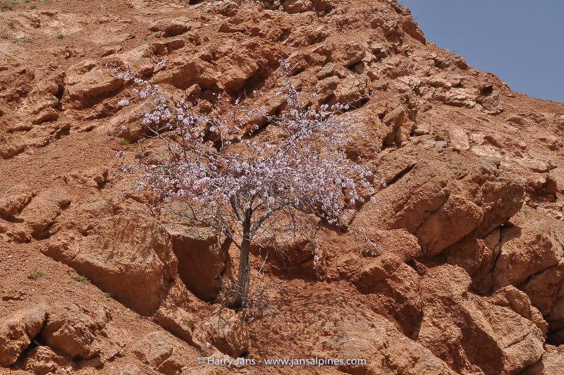 wild almond tree (Prunis dulcis)