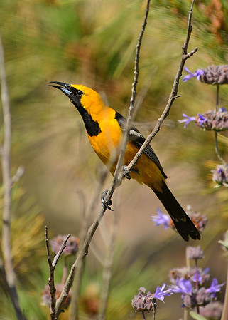 Oriole, Hooded