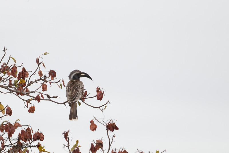 African Grey Hornbill - Tarangire National Park, Tanzania