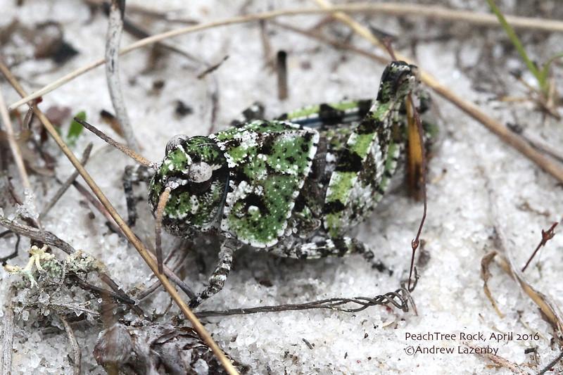 Grasshopper 1.jpg