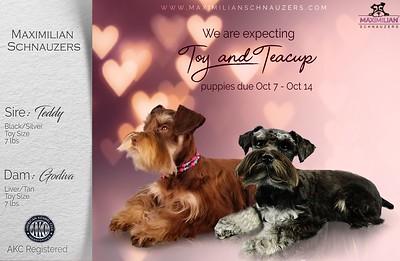 Godiva & Teddy Puppies, DOB 10/09/2020
