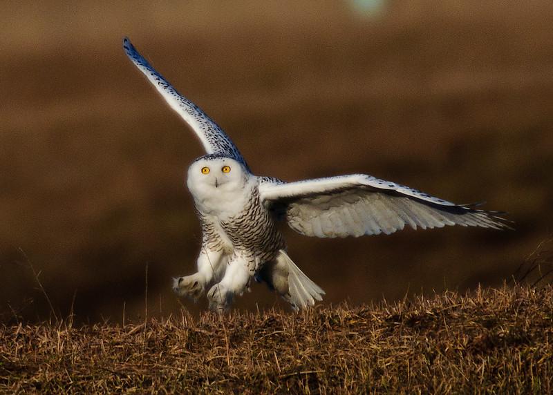 _DSC7439_sno owl.jpg
