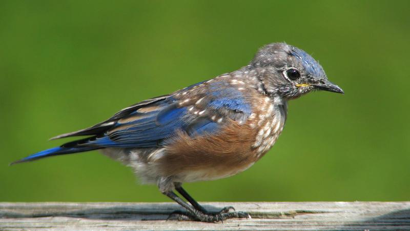 bluebird_fledgling_5159.jpg