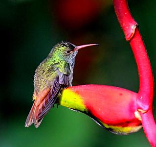 Rufous-tailed Hummingbird