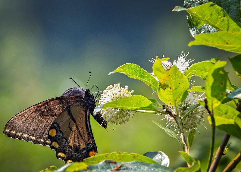 SwampButterfly.jpg
