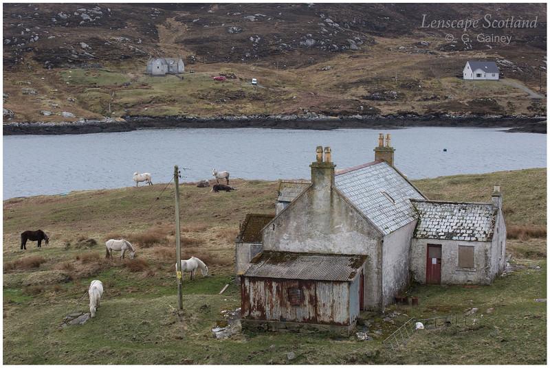 Eriskay ponies, Acairseid Mhor, Isle of Eriskay 1