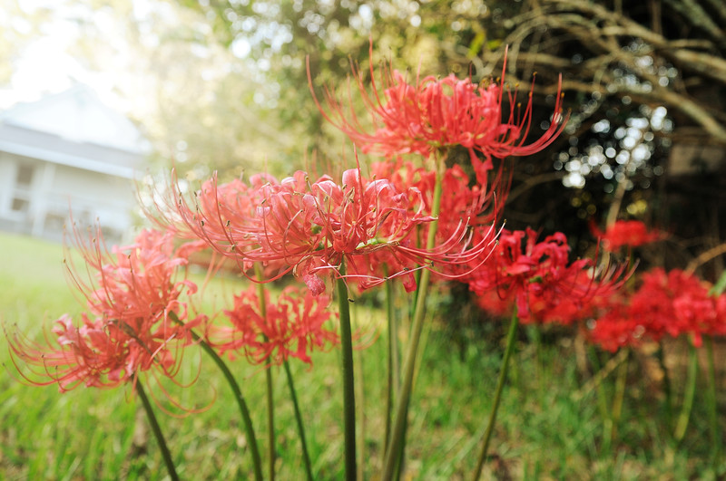 I found some more spider lilies.