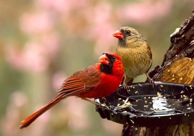 IMG_2230 cardinals topaz mild details lighter.jpg