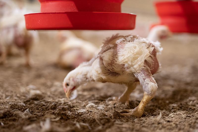 10-LDC-poulet-boiteux.jpg