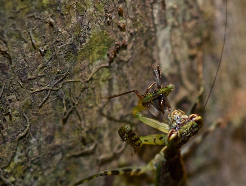 Lichen Mantid (Liturgusa sp.)