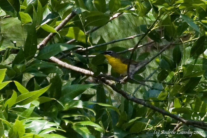 Yellow Breasted Chat.jpg