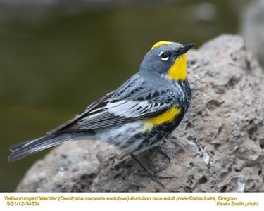 YellowRumpedWarblerAudubonM54534.jpg