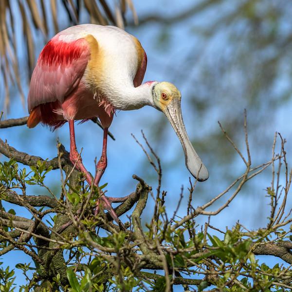 Roseate Spoonbill - posing
