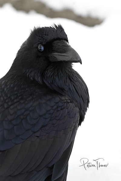 raven 1 profile large wm.jpg