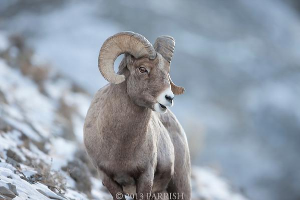 Yellowstone - Big Horn Sheep