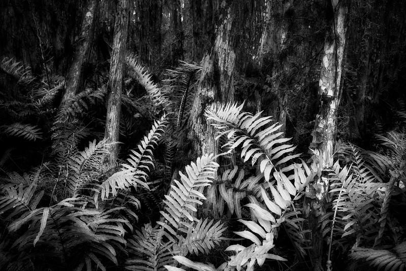 Swamp Ferns